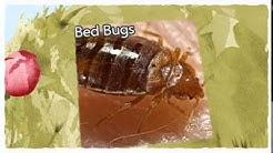 Official Pest Control Davis CA 916-226-4836 Bed Bugs Treatment