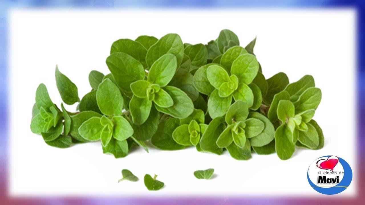 Propiedades y beneficios del oregano planta medicinal for Planta decorativa con propiedades medicinales