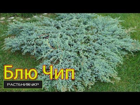 Можжевельник горизонтальный Блю Чип уход  / Можжевельник посадка и уход / хвойные растения