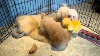 Beautiful Smart Windair Toy Poodles For Sale