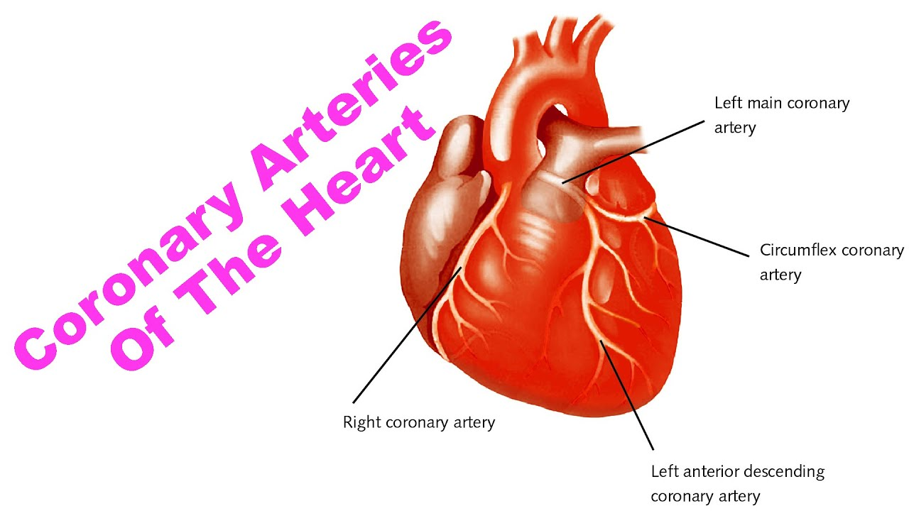 Coronary Arteries Of The Heart - YouTube