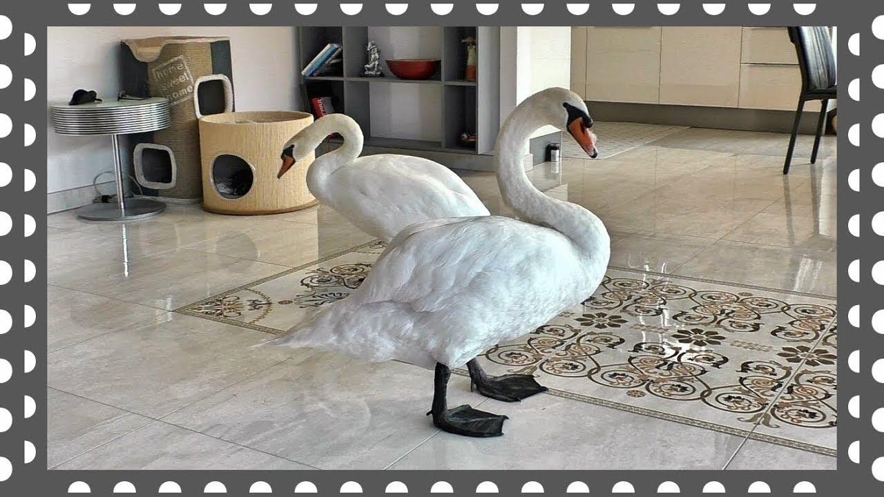 Белые Лебеди ходят к нам в дом - YouTube