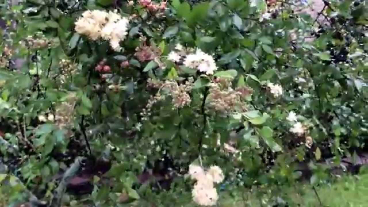 Lawsonia Inermis Henna Plant Gorintaaku Mehendi Plant