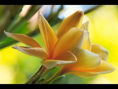 Tropical Flowers HD