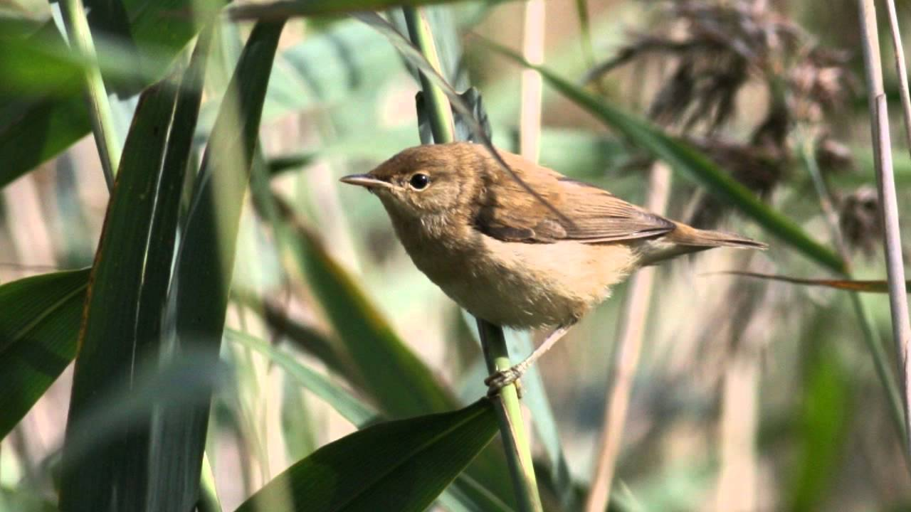 Reed Warbler Bird Call Bird Song Youtube