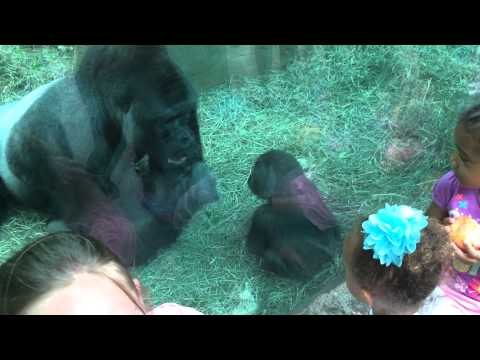Baby gorilla attacks silverback