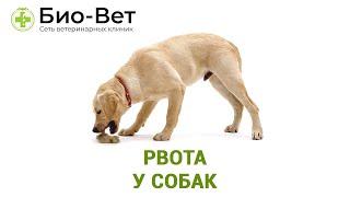 Рвота у собак. Ветеринарная клиника Био-Вет.