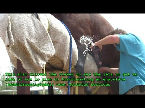 How to masterbate a stallion by hand (CRUMP) method so no av is required thumbnail