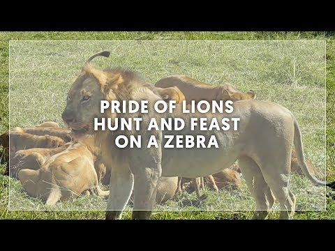 Pride Of Lions Hunt And Feast On A Zebra - Africa Safari | Centre Holidays