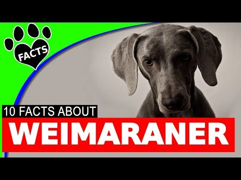 Wonderful Weimaraner Dogs 101 Fun Facts Information German Dog Breeds