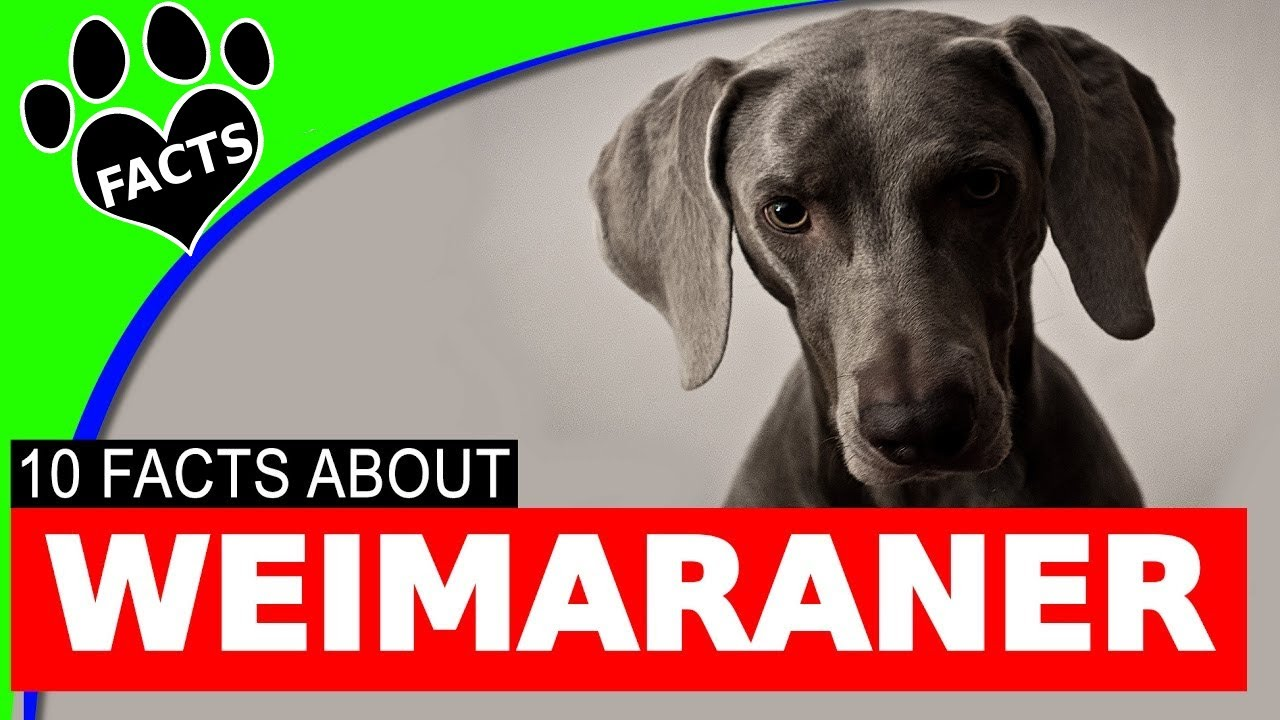 Dogs 101: Weimaraner Dogs Fun Facts Information German Dog Breeds - Animal Facts