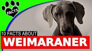 Wonderful Weimaraner Dogs 101 Fun Facts Information German Dog Breeds