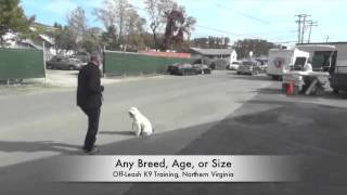 Small Dog Luna Heel Video! Best Dog Trainer, Northern Virginia