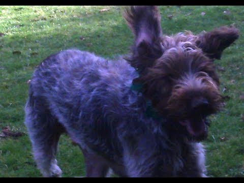 German Wirehaired Pointer Suggs fooling around.