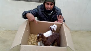 How to Care for Baby Goats In the winter season