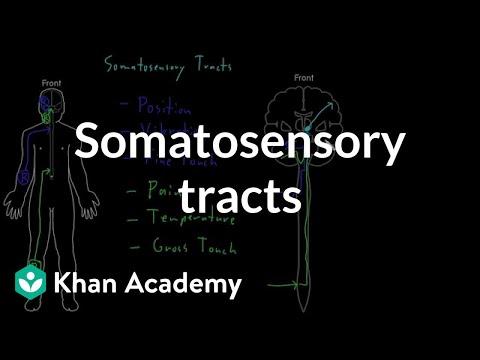 Somatosensory tracts | Organ Systems | MCAT | Khan Academy