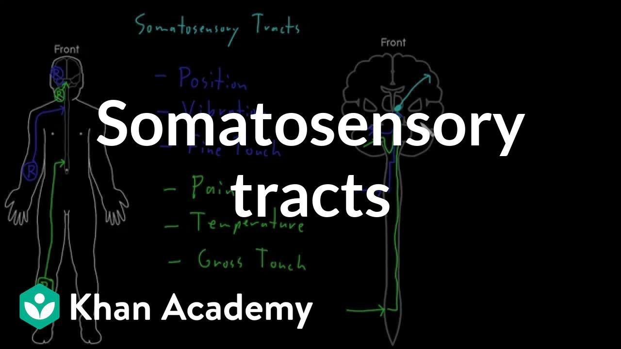 Somatosensory tracts (video) | Khan Academy