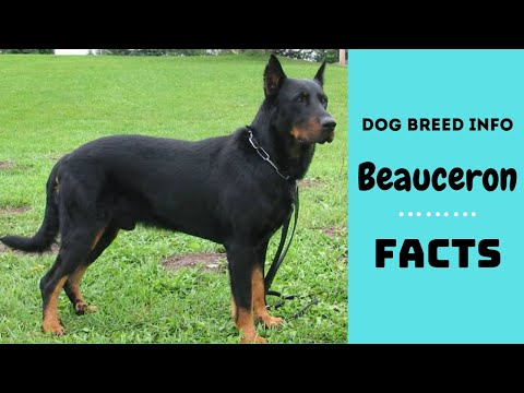 Beauceron dog breed. All breed characteristics and facts about Beauceron dogs