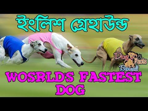 English greyhound facts in Bengali | Interesting Facts | Dog Facts Bengali