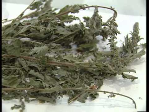 лекарственные травы от паразитов в организме человека