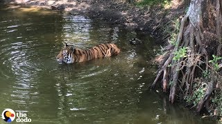 Here's Why Tigers Are Going Extinct  | The Dodo