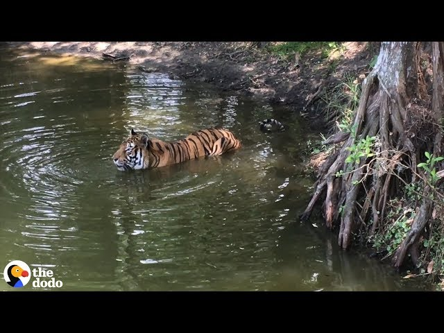 Heres Why Tigers Are Going Extinct  | The Dodo