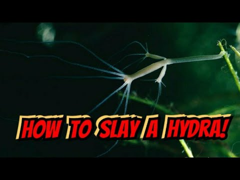 Hydra Attacking Baby Cherry Shrimp On Film - Slaying The Monsters In Your Aquarium. Hydra Removal