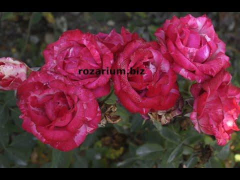 мотобур, капельная лента, осенняя высадка роз, питомник роз полины козловой, rozarium.biz