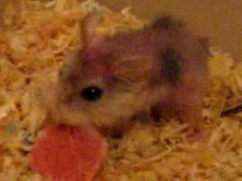 Oldest Robo Hamster on earth