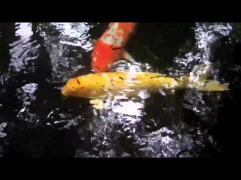 The Curious Case Of The Color-changing Koi