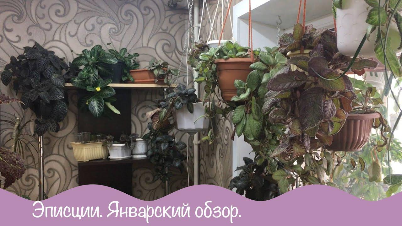 Эписции. Январский обзор цветов.