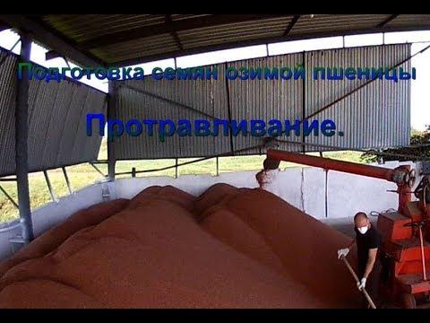 Озимая Пшеница Мидас, описание сорта - семена в Украине - YouTube