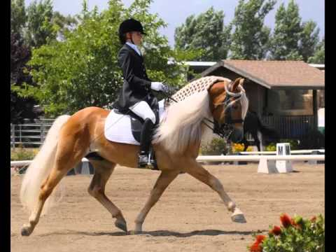 Haflinger Horse | Collection Of Horse Pictures
