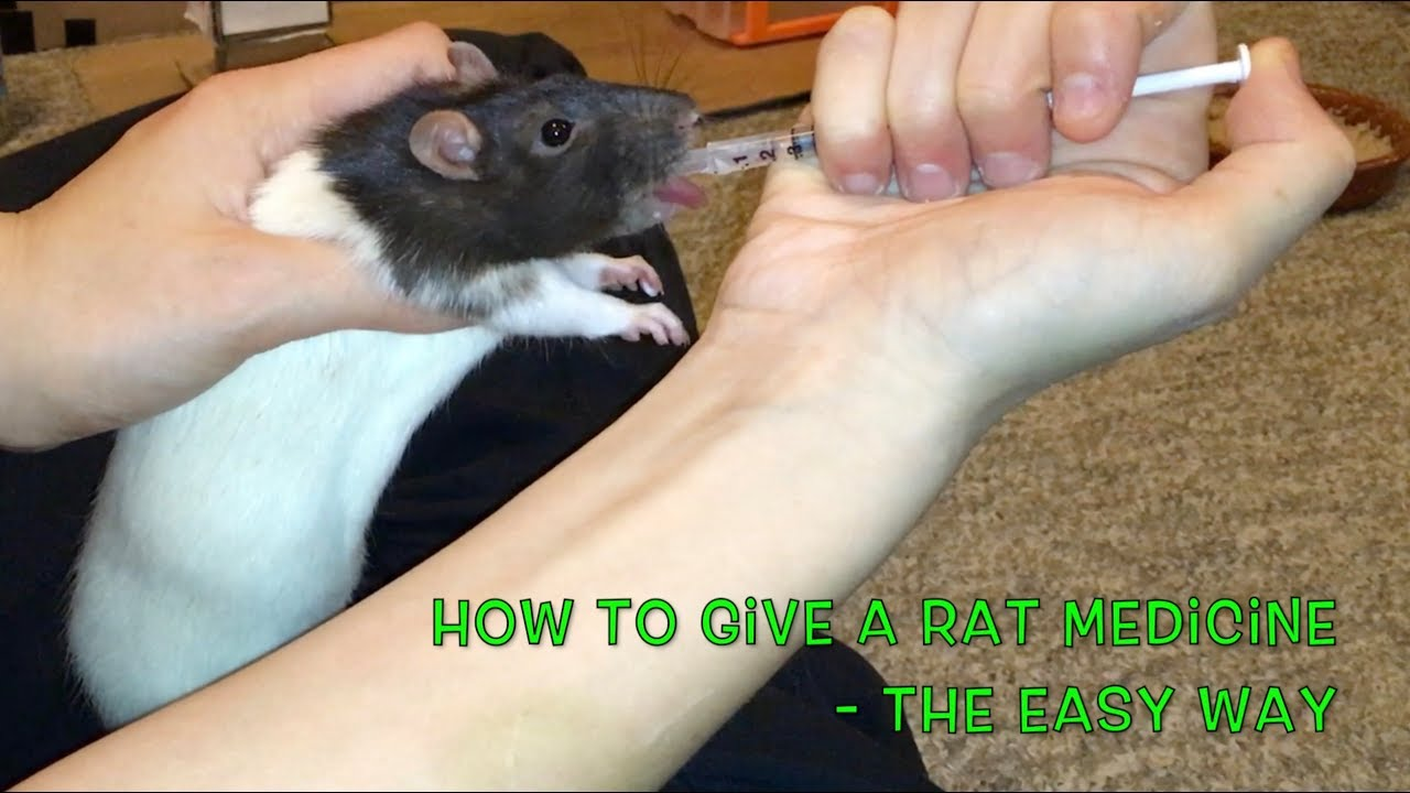 How To Give A Rat Medicine - The Easy (Food) Way