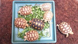 Sulcata tortoise hatchlings feeding time