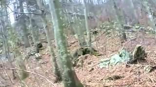 Охота на медведя с собаками видео