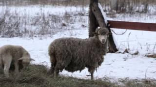 ZooАзбука. Овцы и бараны.