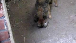 Bryn The Border Terrier Killing Rat