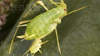 Born Pregnant: Aphids Invade with an Onslaught of Clones | Deep Look