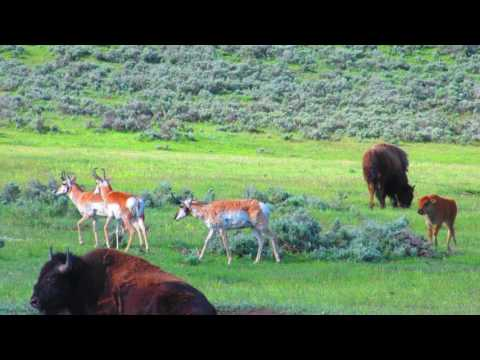 Baby Bison Chases Pronghorns in Yellowstone