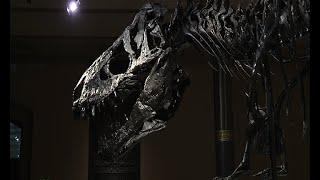 Sehenswert! // T-rex im Berliner Naturkundemuseum (Teil 1)