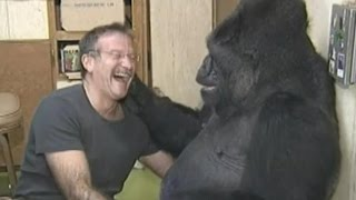 Koko the Gorilla Mourns Her Friend, Robin Williams