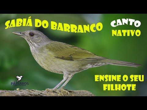 SABIÁ DO BARRANCO - CANTO NATIVO PARA ENSINAR FILHOTES