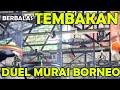 Berbalas Tembakan Duel Murai Batu Borneo  Mp3 - Mp4 Download