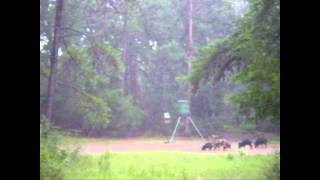 East Texas Hog Hunting In The Rain - 2 Hogs In 2 Minutes!