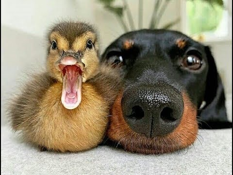 Funny Dogs playing with Ducks –  Dog and Duck funny Moments Compilation