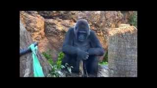 上野動物園のニシローランドゴリラのトトさん。どうやら金のキラキラ布...