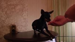 Дрессировка для собак русский той терьер Боня 12 месяцев