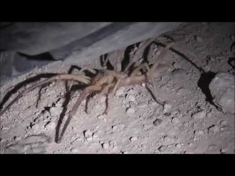 Camel Spider attack