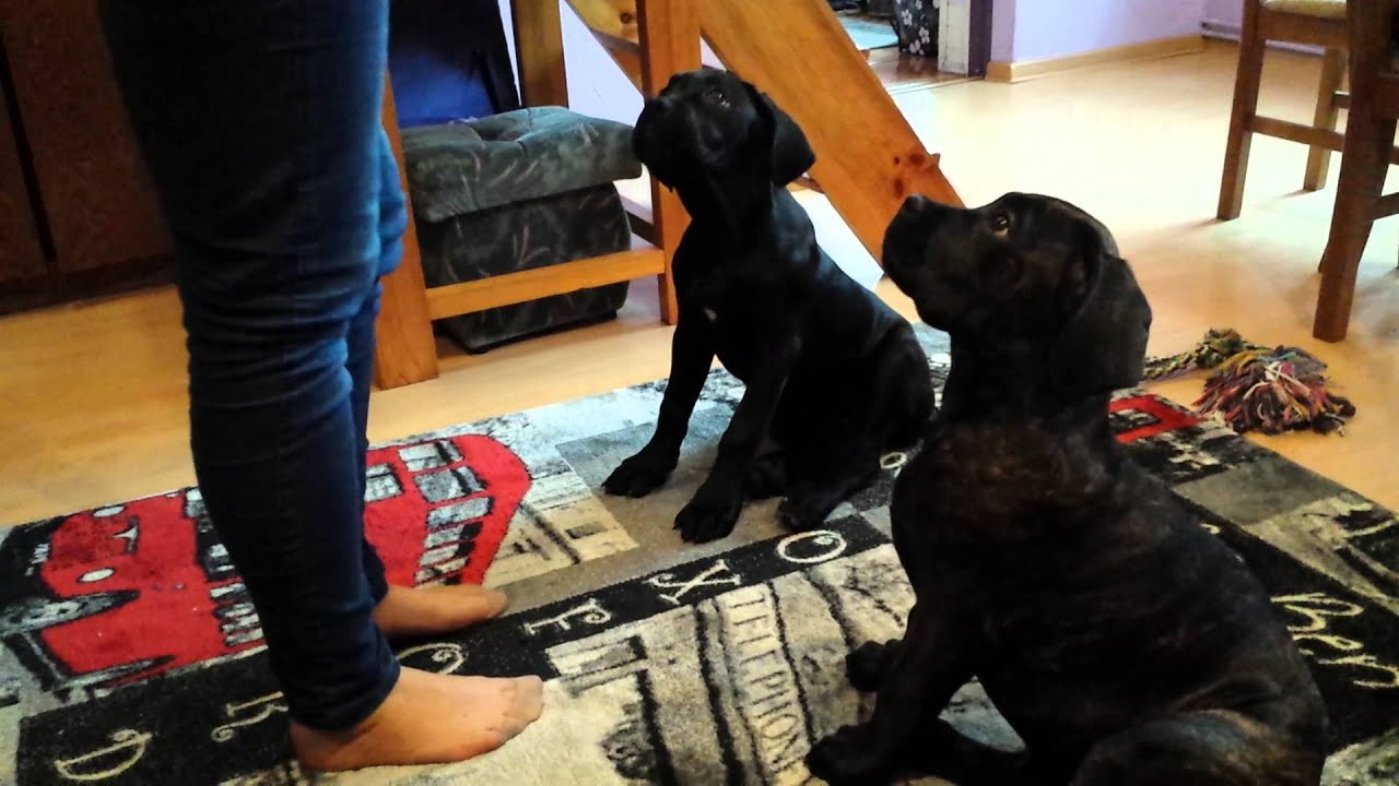 Cane corso smart puppies 3 months youtube cane corso smart puppies 3 months geenschuldenfo Gallery